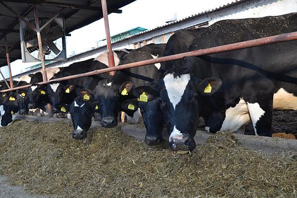Sprijin de la stat pentru crescătorii de bovine