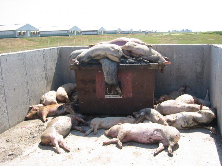 Pesta porcină e de nestăvilit (video)