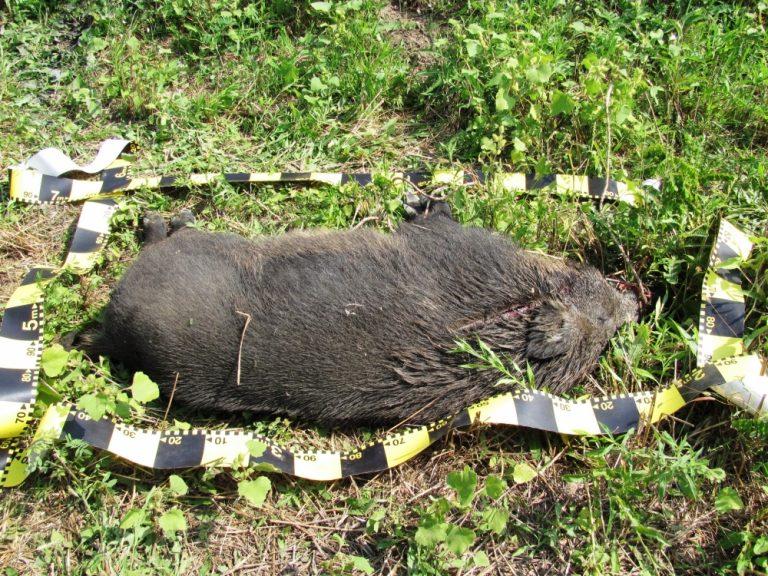 Județul Botoșani continuă să figureze pe harta pestei porcine