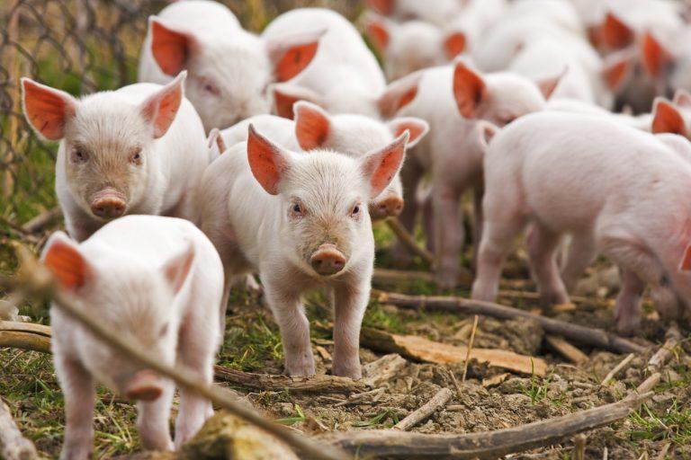 Focar de pestă africană la Coșula. Veterinarii ucid 23 de porci