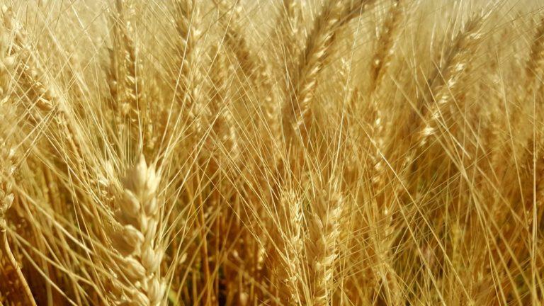 Producția agricolă a județului este mai bună decât în anii anteriori