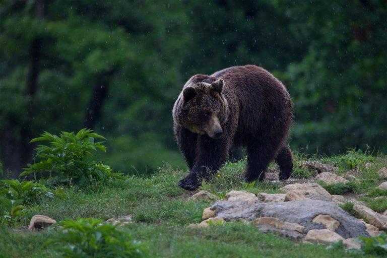 Autorităţile vor să prindă ursoaica cu pui semnalată în judeţ