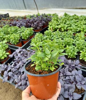 Ajutor financiar pentru cultivatorii de plante aromatice